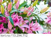 Купить «Amaryllis Belladonnas pink flowers.», фото № 13294712, снято 28 марта 2014 г. (c) Юрий Брыкайло / Фотобанк Лори