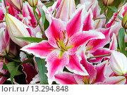 Купить «Amaryllis flowers.», фото № 13294848, снято 28 марта 2014 г. (c) Юрий Брыкайло / Фотобанк Лори