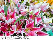 Купить «Amaryllis flowers.», фото № 13295032, снято 28 марта 2014 г. (c) Юрий Брыкайло / Фотобанк Лори