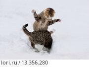 Katzen spielen/kaempfen im Schnee, Cats playing/fighting in snow. Стоковое фото, фотограф Zoonar/Susanne Daneg / age Fotostock / Фотобанк Лори
