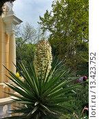 Купить «Цветущая юкка, весна в парке Дендрарий, курорт Сочи, Россия», фото № 13423752, снято 1 мая 2014 г. (c) DiS / Фотобанк Лори