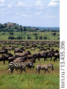Купить «Over 600,000 ZEBRAS & 1.5 million WILDEBEESTS migrate across the SERENGETI PLAINS yearly _ MORU KOPJES AREA _ TANZANIA», фото № 13435396, снято 22 февраля 2019 г. (c) age Fotostock / Фотобанк Лори