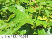 Купить «Зеленые листья клена остролистого (лат. Acer platanoides)», эксклюзивное фото № 13440684, снято 1 июля 2015 г. (c) Михаил Рудницкий / Фотобанк Лори