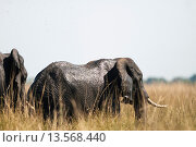 Купить «African bush elephant Loxodonta africana in high grass», фото № 13568440, снято 10 апреля 2020 г. (c) age Fotostock / Фотобанк Лори