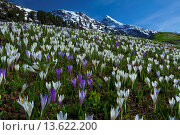 Купить «Austria, Europe, Tyrol, Ötztal, Obergurgl, spring, meadow, crocuses, crocus meadow, mountains, oetztal, Alps, snow, flowers, spring flowers, wood, forest...», фото № 13622200, снято 23 марта 2019 г. (c) age Fotostock / Фотобанк Лори