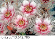 Купить «Featherflower, Bandalup Hill near Ravensthorpe Western Australia», фото № 13642780, снято 19 февраля 2018 г. (c) age Fotostock / Фотобанк Лори