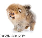 Купить «Pomeranian puppy isolated on a white background», фото № 13664460, снято 23 ноября 2015 г. (c) Сергей Лаврентьев / Фотобанк Лори