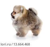 Купить «Pomeranian puppy isolated on a white background», фото № 13664468, снято 23 ноября 2015 г. (c) Сергей Лаврентьев / Фотобанк Лори