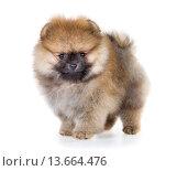 Купить «Pomeranian puppy isolated on a white background», фото № 13664476, снято 23 ноября 2015 г. (c) Сергей Лаврентьев / Фотобанк Лори