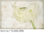 Купить «AMARYLLIS», фото № 13665896, снято 26 мая 2019 г. (c) age Fotostock / Фотобанк Лори