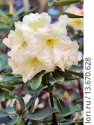 Купить «RHODODENDRON 'NEW COMET'», фото № 13670628, снято 18 июня 2019 г. (c) age Fotostock / Фотобанк Лори