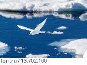 Купить «Adult ivory gull (Pagophila eburnea), Bear Sound, Spitsbergen Island, Svalbard, Norway, Scandinavia, Europe», фото № 13702100, снято 3 июня 2020 г. (c) age Fotostock / Фотобанк Лори