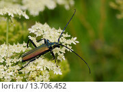 Купить «Musk beetle (Aromia moschata) foraging on wild carrot (Queen Anne's lace) (Daucus carota) flowerhead in a hay meadow, Slovenia, Europe», фото № 13706452, снято 6 июля 2020 г. (c) age Fotostock / Фотобанк Лори