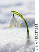 Купить «Flower, flowers, blossom, flourish, detail, flora, spring, spring flower, big, snowflake, Leucojum vernum, cold, macro, close-up, plant, snow, snowdrops, one, green, cold, white, wild», фото № 13717824, снято 11 декабря 2018 г. (c) age Fotostock / Фотобанк Лори
