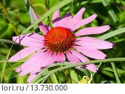 Купить «Flowers in the Herb Garden, Northwest Park, Windsor, Connecticut», фото № 13730000, снято 7 июля 2020 г. (c) age Fotostock / Фотобанк Лори