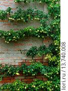 Купить «common pear (Pyrus communis), espalier peara at a wall», фото № 13740008, снято 22 сентября 2019 г. (c) age Fotostock / Фотобанк Лори