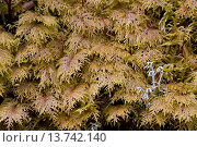 Купить «Glittering wood-Moss, Splendid Feather Moss (Hylocomium splendens), with reindeer lichen, Sweden, Vaermland», фото № 13742140, снято 15 ноября 2018 г. (c) age Fotostock / Фотобанк Лори