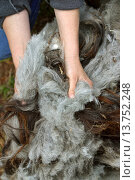 just clipped sheep whool, Germany. Стоковое фото, фотограф F. Hecker / age Fotostock / Фотобанк Лори