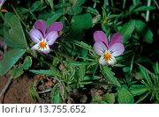 Купить «heart's ease, heartsease, wild pansy, three colored violet (Viola tricolor), blooming, Germany», фото № 13755652, снято 14 ноября 2019 г. (c) age Fotostock / Фотобанк Лори