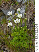 Купить «marsh grass-of-parnassus (Parnassia palustris), blooming, Germany», фото № 13782064, снято 16 октября 2018 г. (c) age Fotostock / Фотобанк Лори