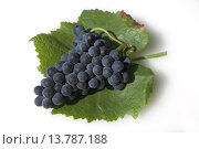 Купить «Blauer Spaetburgunder, Pinot, noir, Rotwein,», фото № 13787188, снято 24 мая 2018 г. (c) PantherMedia / Фотобанк Лори