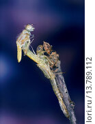 Common blue damselfly, Common bluet damselfly (cyathigera, Enallagma cyathigerum), female hatching from the exuvia, Germany. Стоковое фото, фотограф F. Hecker / age Fotostock / Фотобанк Лори