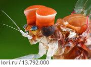 Купить «mayfly (Centroptilum luteolum), head of a male with typical large eyes for searching for females, Germany», фото № 13792000, снято 27 мая 2019 г. (c) age Fotostock / Фотобанк Лори