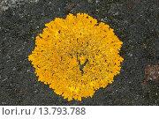 Купить «Xanthoria cf. aureola (Xanthoria cf. aureola, Parmelia aureola, Physcia aureola, Physcia ectaneoides, Xanthoria parietina var. aureola), lichen on coastal rocks of Baltic Sea», фото № 13793788, снято 22 февраля 2019 г. (c) age Fotostock / Фотобанк Лори