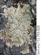Купить «Schuesselflechte (Xanthoparmelia spec., Parmelia spec., Neofuscelia spec., Neofusciela spec.)», фото № 13793820, снято 24 февраля 2019 г. (c) age Fotostock / Фотобанк Лори