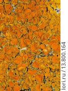 Купить «Common orange lichen, Yellow scale, Maritime sunburst lichen, Shore lichen, Golden shield lichen (Xanthoria parietina, Parmelia parietina), on a coastal rock of the Baltic Sea, Germany», фото № 13800164, снято 22 февраля 2019 г. (c) age Fotostock / Фотобанк Лори