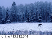 Купить «Canada, Bull moose (Alces alces) crossing a field in winter after fresh snow             », фото № 13812344, снято 24 февраля 2018 г. (c) age Fotostock / Фотобанк Лори