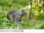 Купить «TIGER CAT OR ONCILLA leopardus tigrinus, South America», фото № 13833292, снято 22 июля 2019 г. (c) age Fotostock / Фотобанк Лори