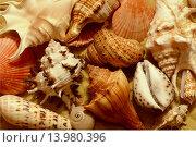 Ракушки разных форм на песке. Стоковое фото, фотограф Нефедьев Леонид / Фотобанк Лори