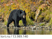 Купить «American Black bear (Ursus americanus)- Patrolling riverbank for spawning salmon. Chilcotin Wilderness, BC Interior, Canada», фото № 13989140, снято 19 сентября 2018 г. (c) age Fotostock / Фотобанк Лори