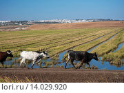 Rice field and village, Old lagoon of La Janda, Benalup de Sidonia, Cadiz-province, Spain. Стоковое фото, фотограф José Lucas / age Fotostock / Фотобанк Лори