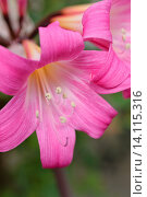 Купить «Belladonna lily (Amaryllis bella-donna).», фото № 14115316, снято 27 мая 2019 г. (c) age Fotostock / Фотобанк Лори