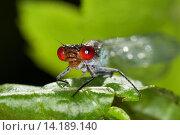 red-eyed damselfly (Erythromma najas, Agrion najas), male sitting on a leaf, Germany. Стоковое фото, фотограф F. Hecker / age Fotostock / Фотобанк Лори