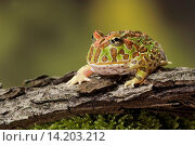 Купить «argentine horned frog, pacman frog, nightcrawler, night crawler, ornate horned frog, ornate horned toad, escuerzo (Ceratophrys ornata), on a branch», фото № 14203212, снято 12 ноября 2019 г. (c) age Fotostock / Фотобанк Лори
