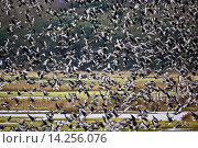 Купить «Migrating Pink-Footed geese over-wintering at Holkham, North Norfolk coast, East Anglia, Eastern England», фото № 14256076, снято 22 ноября 2019 г. (c) age Fotostock / Фотобанк Лори