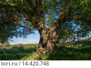 Большое дерево с зелеными листьями. Стоковое фото, фотограф Бронислав Богачевский / Фотобанк Лори