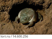Water-holding frog, Cyclorana platycephala, with protective membrane in underground chamber, Central Australia. Стоковое фото, фотограф Auscape\UIG / age Fotostock / Фотобанк Лори