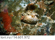 A crypt cockle (Hiatella arctica), under a rock with its siphons extended. Queen Charlotte Sound, South Island, New Zealand. Стоковое фото, фотограф Auscape\UIG / age Fotostock / Фотобанк Лори