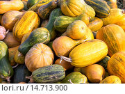 Купить «Урожай тыквы», фото № 14713900, снято 4 октября 2015 г. (c) Сергей Лаврентьев / Фотобанк Лори