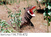 Купить «Komodo dragon, Komodo monitor, ora (Varanus komodoensis), with opened mouth, Indonesia, Komodo Island», фото № 14719472, снято 23 января 2019 г. (c) age Fotostock / Фотобанк Лори