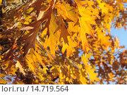 Купить «Жёлтые осенние листья дуба красного (Quércus rubra) на фоне голубого неба», эксклюзивное фото № 14719564, снято 5 ноября 2015 г. (c) Ирина Водяник / Фотобанк Лори