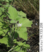 Купить «Woolly Nightshade (Solanum villosum subsp. villosum), blooming, Germany, North Rhine-Westphalia», фото № 14733208, снято 16 июля 2011 г. (c) age Fotostock / Фотобанк Лори