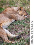 Купить «lioness, Lake Nakuru National Park, Kenya.», фото № 14733872, снято 14 декабря 2019 г. (c) age Fotostock / Фотобанк Лори