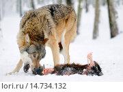Купить «European wolf (Canis lupus), feeds on the cadaver of a goat, Germany», фото № 14734132, снято 26 декабря 2010 г. (c) age Fotostock / Фотобанк Лори