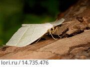 Купить «Light Emerald (Campaea margaritata), sitting on deadwood, Germany», фото № 14735476, снято 18 августа 2007 г. (c) age Fotostock / Фотобанк Лори