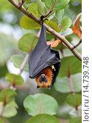 Купить «seychelles flying fox, seychelles fruit bat (Pteropus seychellensis), hanging in a tree, Seychelles, Mahe», фото № 14739748, снято 30 августа 2013 г. (c) age Fotostock / Фотобанк Лори